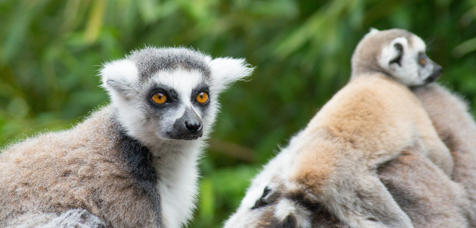ring-tailed-lemure-4174481_1920PX