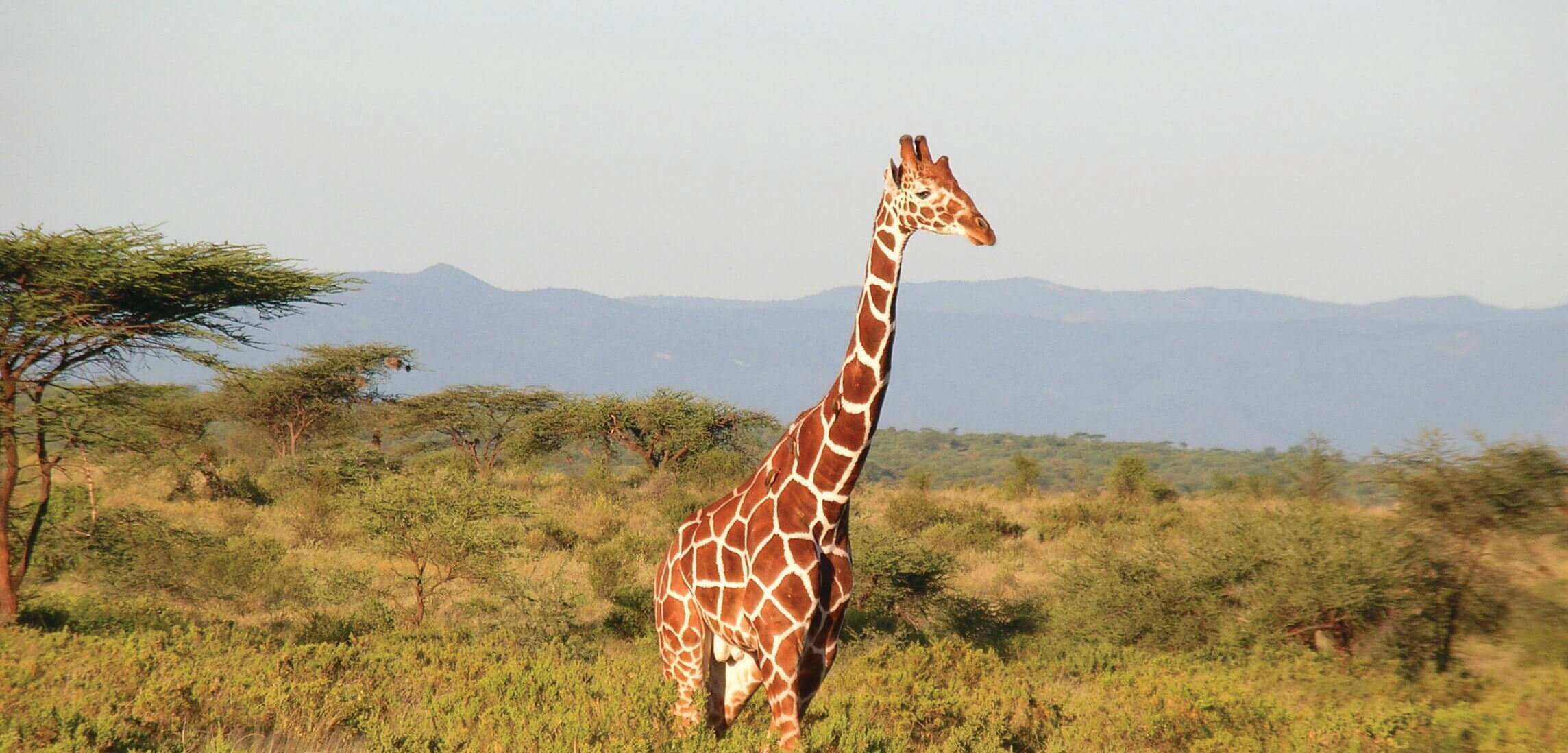 Kenya - Country Giraffe